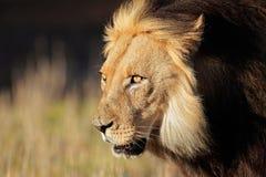 lwa afrykańskiego portret Obrazy Royalty Free