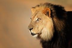 lwa afrykańskiego portret Obraz Royalty Free
