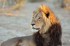 lwa afrykańskiego portret Fotografia Royalty Free