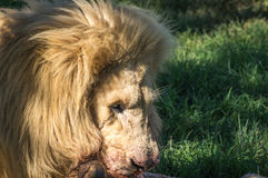 lwa afrykańskiego Obraz Stock