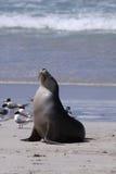 lwa australijski morze Fotografia Royalty Free