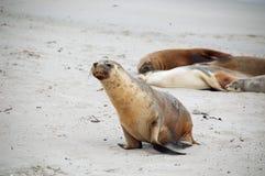 lwa australijski morze Fotografia Stock