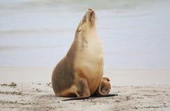 lwa australijski morze Obraz Stock