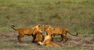 Lwa Cubs Bawić się Zdjęcia Royalty Free