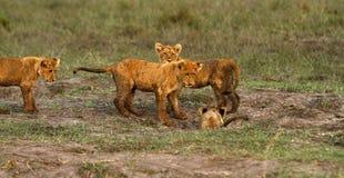 Lwa Cubs Bawić się Zdjęcie Stock