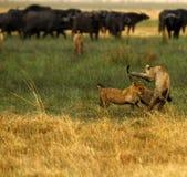 Lwa Cubs Bawić się Obraz Stock
