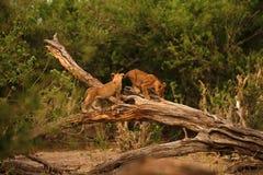 Lwa Cubs Playtime Zdjęcia Stock