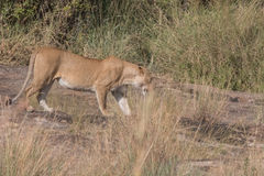 Lwa Cubs w Kenya i duma Fotografia Royalty Free