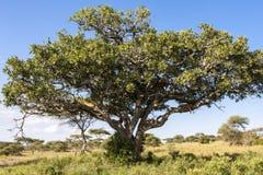 Lwa drzewo Fotografia Royalty Free