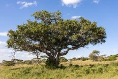 Lwa drzewo Obrazy Royalty Free