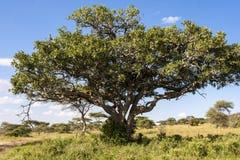 Lwa drzewo Zdjęcia Royalty Free