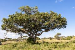 Lwa drzewo Obraz Royalty Free