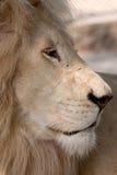 lwa dziki biały fotografia stock