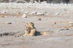 Lwa łgarski puszek na ziemi Przyroda safari w Etosha parku narodowym, Namibia, Afryka Fotografia Stock