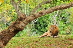 Lwa łgarski puszek, patrzeje daleko od w zoo Obrazy Royalty Free