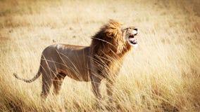 Lwa huczenie w Kenja Afryka Zdjęcia Royalty Free