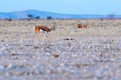 Lwa i antylopy antylopa w Afrykańskim suchym siedlisku, Etocha NP, Namibia Ssak od Afryka Antylopa w wieczór plecy świetle obrazy stock