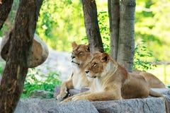Lwa i lwicy odpoczynki obraz stock