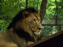 Lwa królewiątko dżungli obsiadanie Z dumą obrazy royalty free
