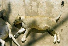 Lwa lew królewiątko bestia dużego kota ssaka carnivore zdjęcie royalty free