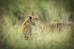 Lwa lisiątka ziewanie w Afryka zdjęcia royalty free