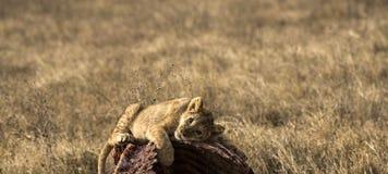 Lwa lisiątko, śpi na ścierwie wildebeest Fotografia Royalty Free