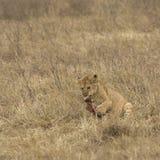 Lwa lisiątko żuć kość otaczającą wysuszoną trawą obrazy stock