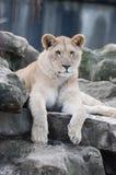 Lwa lisiątko na skałach Obrazy Stock