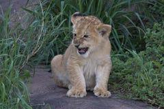 Lwa lisiątko, twardy i chujący w trawie na Serengeti obrazy royalty free