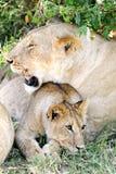 Lwa lisiątko z jego matką Obrazy Royalty Free