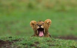 Lwa lisiątko ziewa Park Narodowy Kenja Tanzania mara masajów kmieć obrazy stock