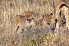 Lwa lisiątko przy etosha parkiem narodowym Zdjęcia Royalty Free