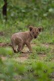 Lwa lisiątko w dzikim, Afryka safari Zdjęcie Royalty Free