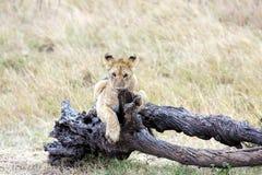Lwa lisiątko w Masai Mara Krajowej rezerwie, Kenja Zdjęcia Stock