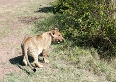 Lwa lisiątko w Masai Mara parku narodowym Obraz Stock