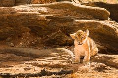 Lwa lisiątko w sawannie Zdjęcie Stock