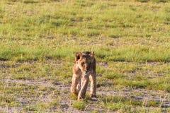 Lwa lisiątko w sawannie Amboseli, Kenja Obraz Stock