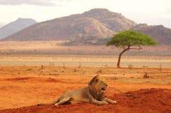 Lwa lying on the beach w Tsavo parka narodowego Afryka najlepszy fotografii Zdjęcie Royalty Free