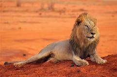 Lwa lying on the beach w Tsavo parku narodowym Afryka Fotografia Stock