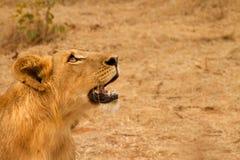 lwa męscy gapienia potomstwa Obraz Stock