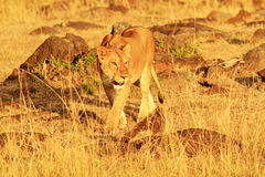 lwa Mara masai Fotografia Stock