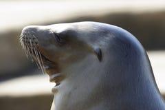 lwa morze Zdjęcia Royalty Free