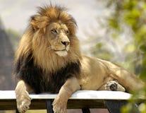 Lwa obsiadanie Na Jego tronie Obrazy Stock