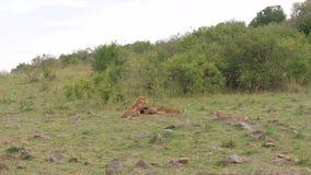 Lwa Odpoczywać, bieg Do On, Mały Cubs I Zaczynamy Bawić się, On Warczymy zdjęcie wideo