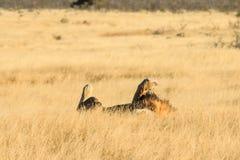 Lwa odpoczywać i kołysanie się Zdjęcia Stock