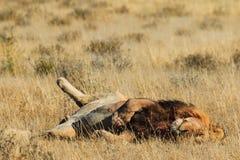 Lwa odpoczywać i kołysanie się Zdjęcie Royalty Free