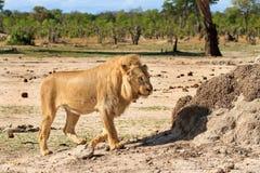 Lwa odprowadzenie na sawannie w Hwange Zdjęcie Royalty Free
