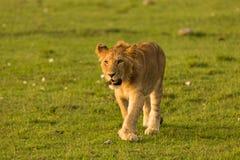 Lwa odprowadzenie w obszarach trawiastych Obrazy Royalty Free