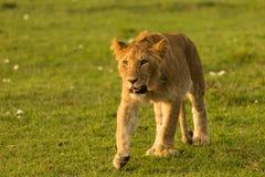 Lwa odprowadzenie w obszarach trawiastych Zdjęcia Stock