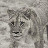 Lwa Panthera Leo Obrazy Royalty Free